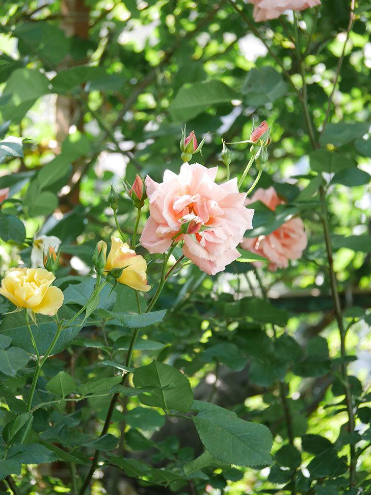 アプリコットキャンディ(Apricot Candy)の花が増えてきた。木立バラ。2021年-054.jpg