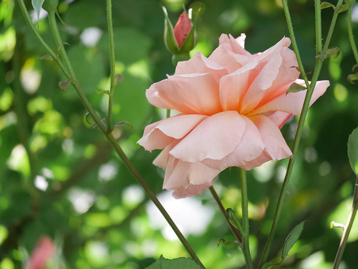 アプリコットキャンディ(Apricot Candy)の花が増えてきた。木立バラ。2021年-055.jpg