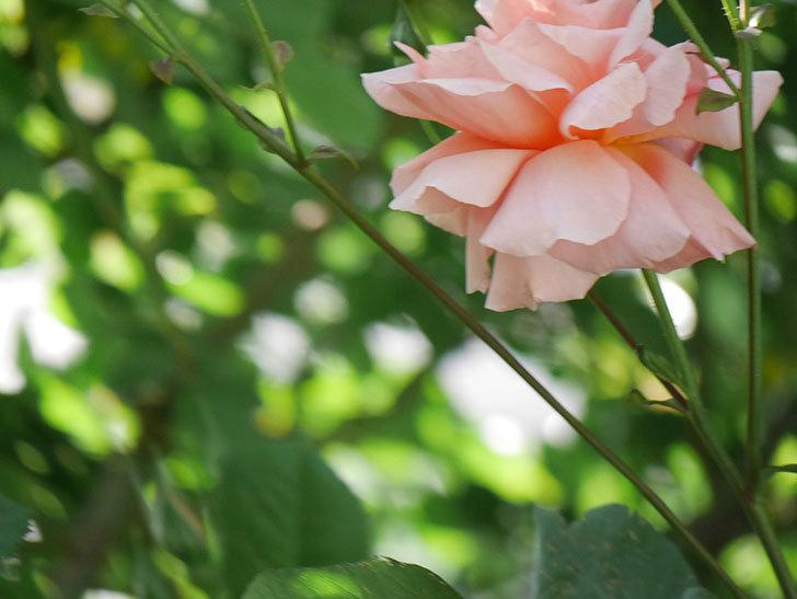 アプリコットキャンディ(Apricot Candy)の花が増えてきた。木立バラ。2021年-056.jpg
