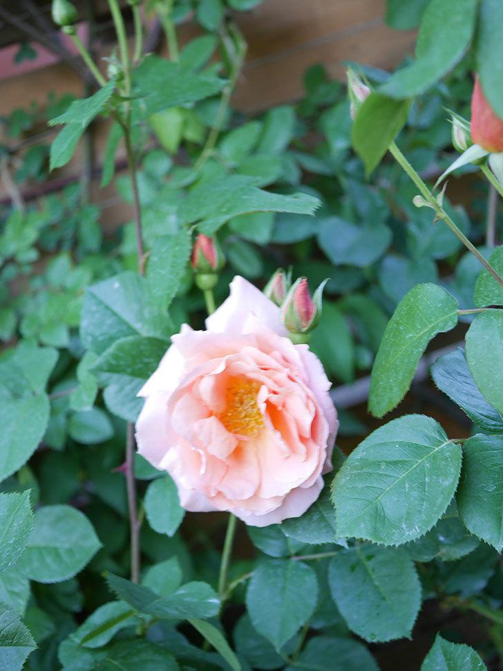 アプリコットキャンディ(Apricot Candy)の花が増えてきた。木立バラ。2021年-057.jpg