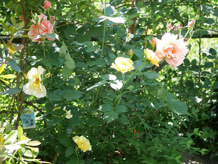 アプリコットキャンディ(Apricot Candy)の花が増えてきた。木立バラ。2021年-058.jpg