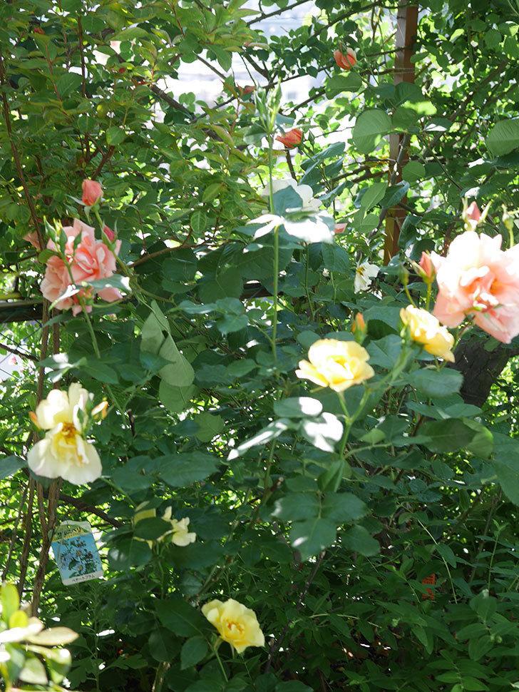 アプリコットキャンディ(Apricot Candy)の花が増えてきた。木立バラ。2021年-059.jpg