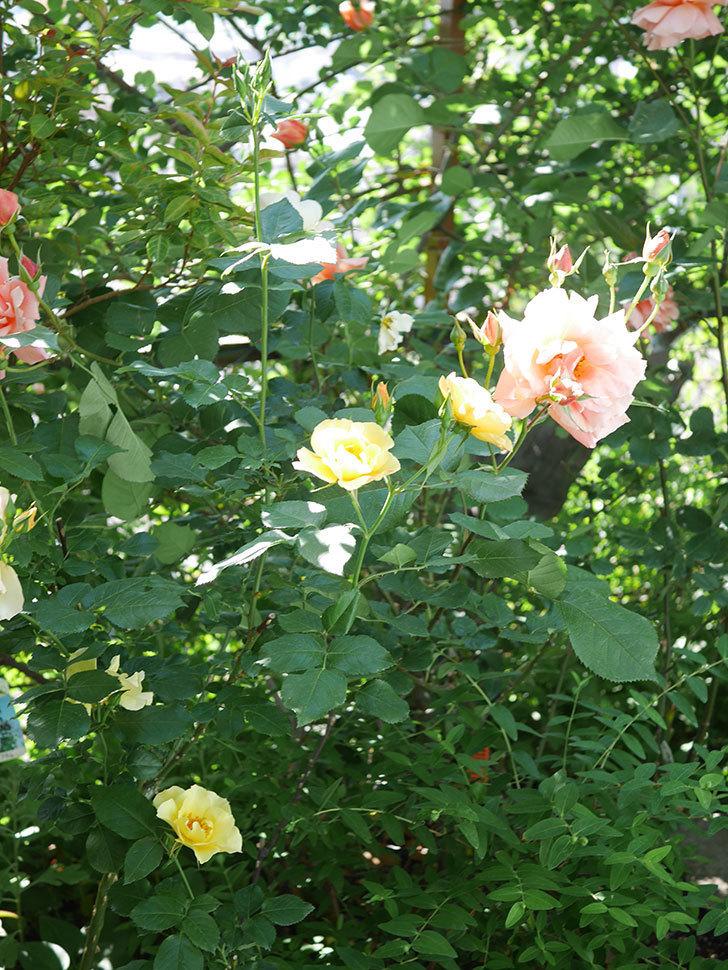 アプリコットキャンディ(Apricot Candy)の花が増えてきた。木立バラ。2021年-060.jpg