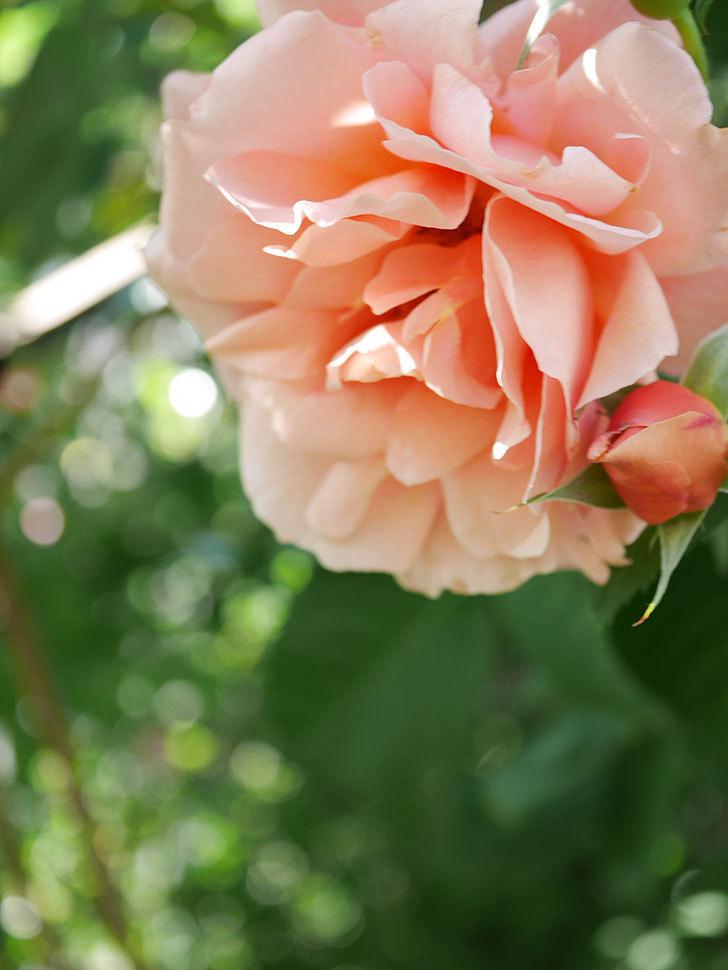 アプリコットキャンディ(Apricot Candy)の花が増えてきた。木立バラ。2021年-061.jpg