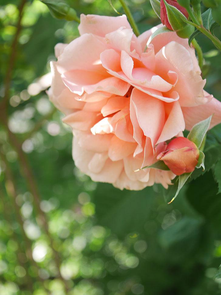 アプリコットキャンディ(Apricot Candy)の花が増えてきた。木立バラ。2021年-062.jpg