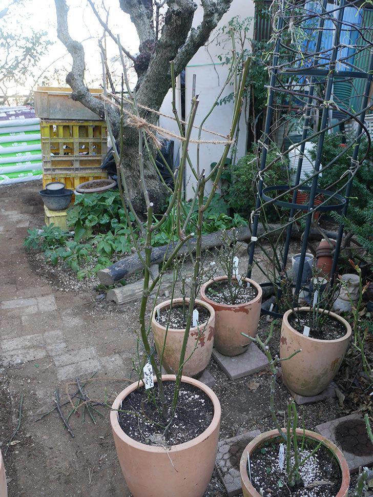 アプリコットキャンディ(Apricot Candy)の鉢植えの冬剪定をした。木立バラ。2021年-002.jpg