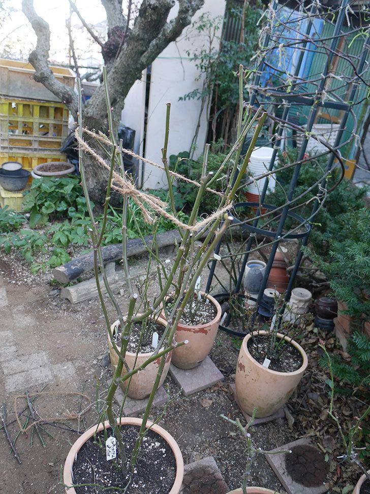 アプリコットキャンディ(Apricot Candy)の鉢植えの冬剪定をした。木立バラ。2021年-003.jpg