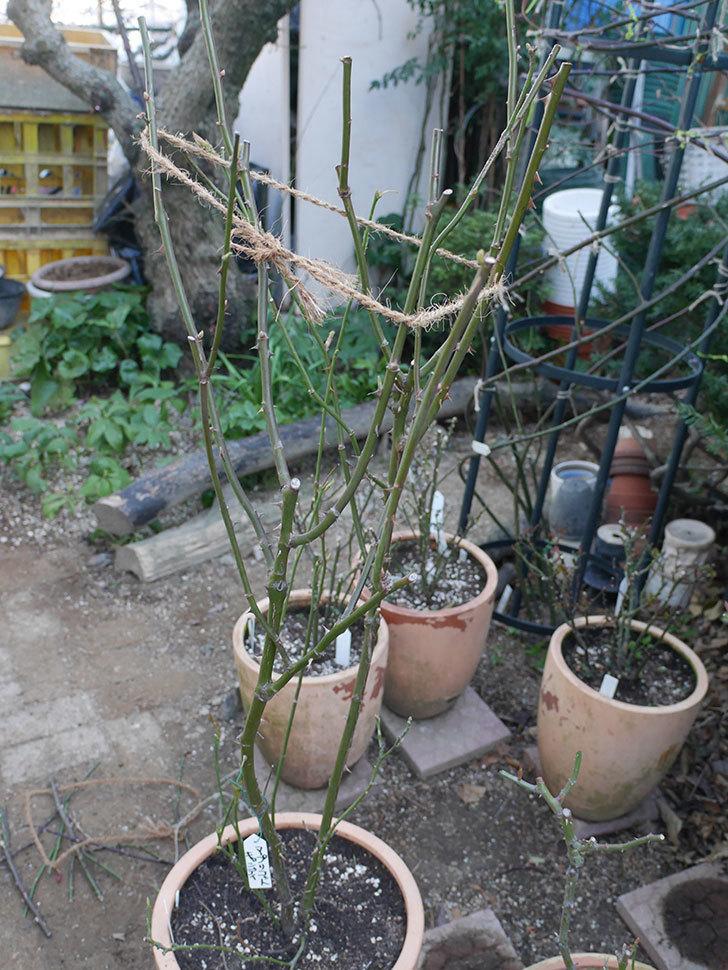 アプリコットキャンディ(Apricot Candy)の鉢植えの冬剪定をした。木立バラ。2021年-004.jpg