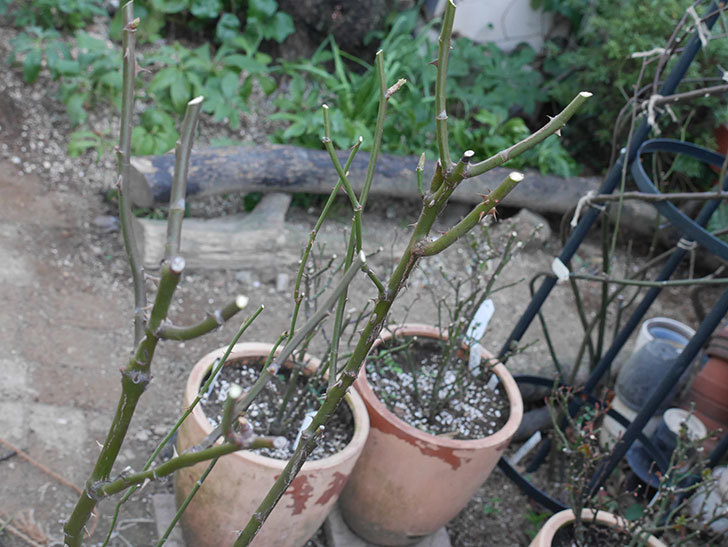 アプリコットキャンディ(Apricot Candy)の鉢植えの冬剪定をした。木立バラ。2021年-008.jpg