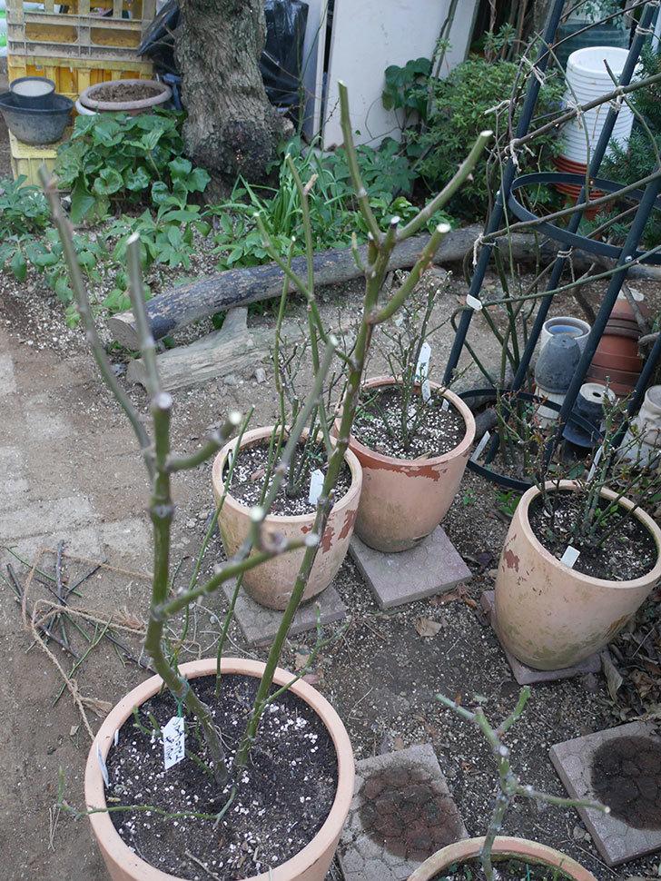 アプリコットキャンディ(Apricot Candy)の鉢植えの冬剪定をした。木立バラ。2021年-010.jpg