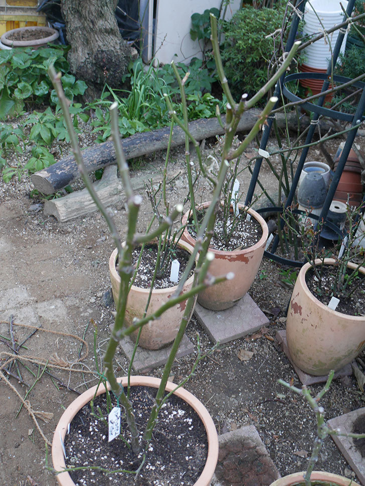 アプリコットキャンディ(Apricot Candy)の鉢植えの冬剪定をした。木立バラ。2021年-011.jpg