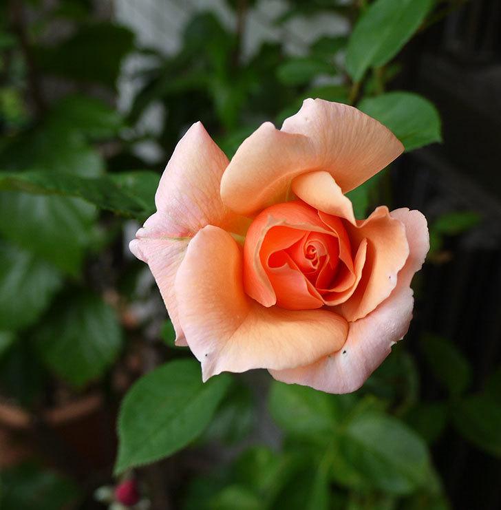 アプリコットキャンディ(木立バラ)に2個目の秋花が咲いた。2016年-1.jpg