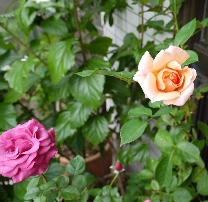アプリコットキャンディ(木立バラ)に2個目の秋花が咲いた。2016年-2.jpg