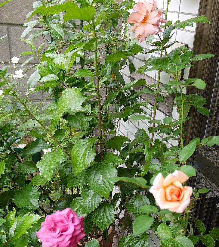 アプリコットキャンディ(木立バラ)に2個目の秋花が咲いた。2016年-4.jpg