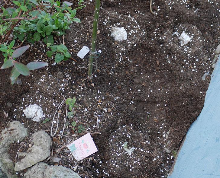 アプリコットキャンディ(木立バラ)に寒肥を施した。2019年-3.jpg