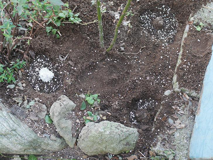 アプリコットキャンディ(木立バラ)に寒肥を施した。2020年-2.jpg