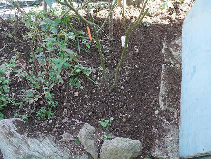 アプリコットキャンディ(木立バラ)に寒肥を施した。2020年-3.jpg