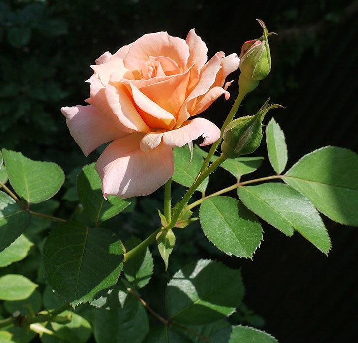 アプリコットキャンディ(木立バラ)の2番花が咲いた。2017年-1.jpg