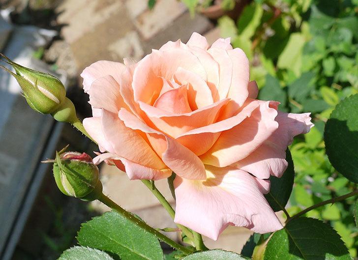アプリコットキャンディ(木立バラ)の2番花が咲いた。2017年-2.jpg