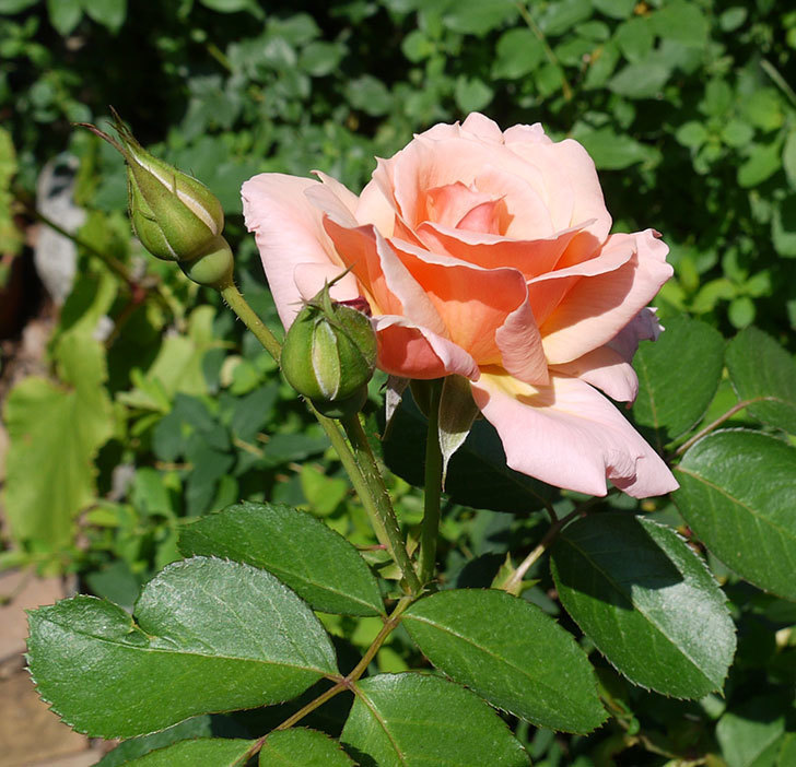 アプリコットキャンディ(木立バラ)の2番花が咲いた。2017年-3.jpg