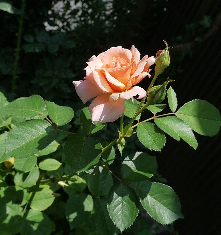 アプリコットキャンディ(木立バラ)の2番花が咲いた。2017年-4.jpg