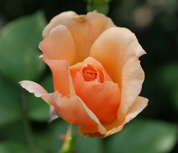 アプリコットキャンディ(木立バラ)の2番花が咲いた。2018年-2.jpg
