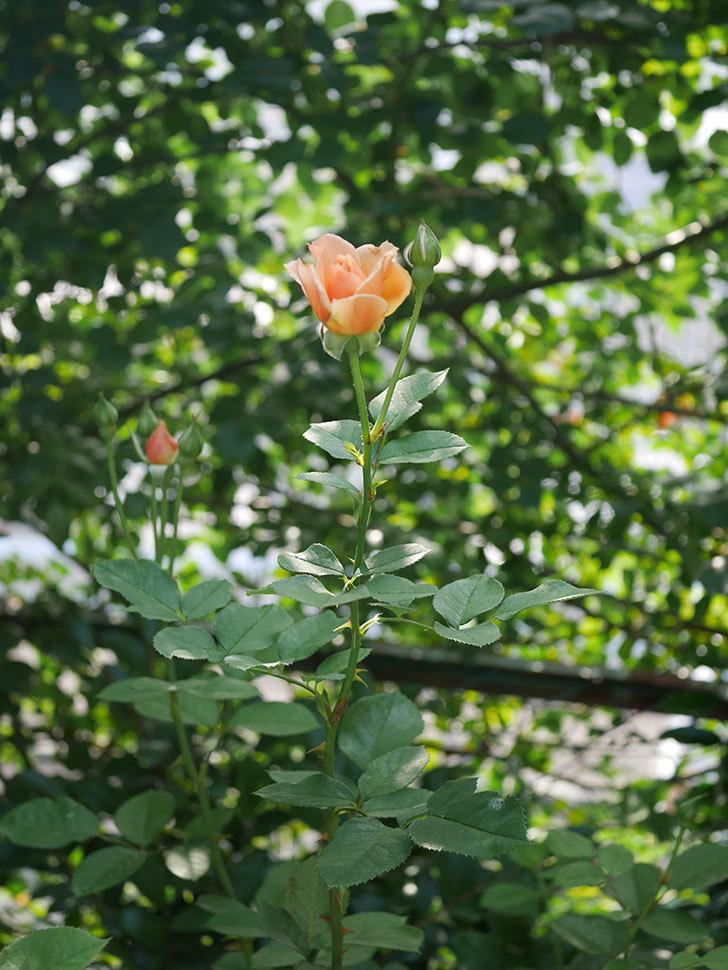 アプリコットキャンディ(木立バラ)の2番花が咲いた。2018年-5.jpg