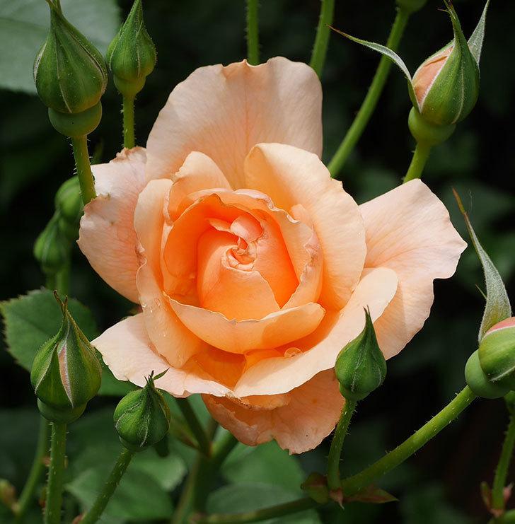 アプリコットキャンディ(木立バラ)の2番花が咲いた。2019年-2.jpg
