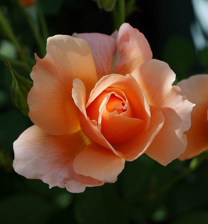 アプリコットキャンディ(木立バラ)の2番花が増えて来た。2019年-7.jpg