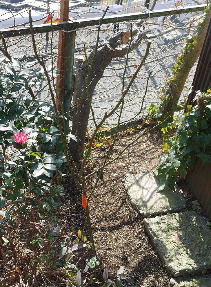 アプリコットキャンディ(木立バラ)の冬剪定をした。2019年-2.jpg
