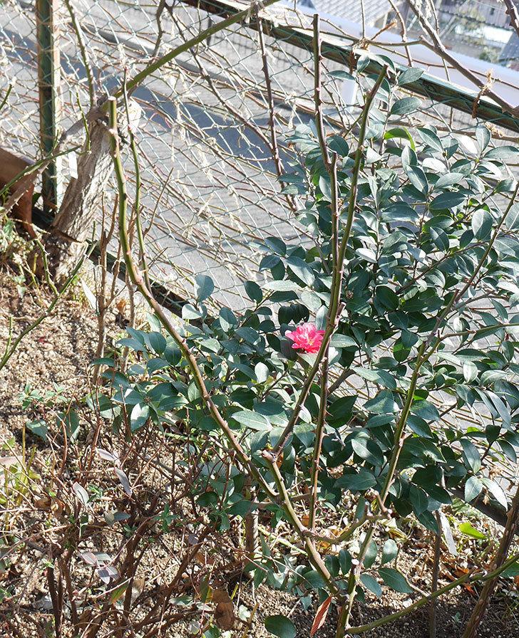 アプリコットキャンディ(木立バラ)の冬剪定をした。2019年-3.jpg