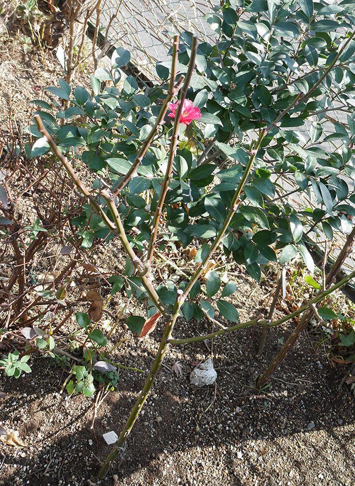 アプリコットキャンディ(木立バラ)の冬剪定をした。2019年-5.jpg