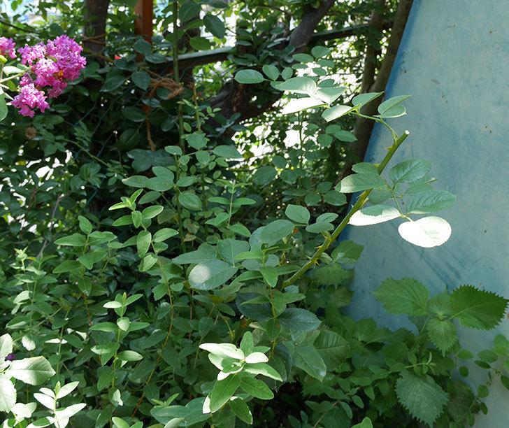 アプリコットキャンディ(木立バラ)の夏剪定をした。2017年-1.jpg