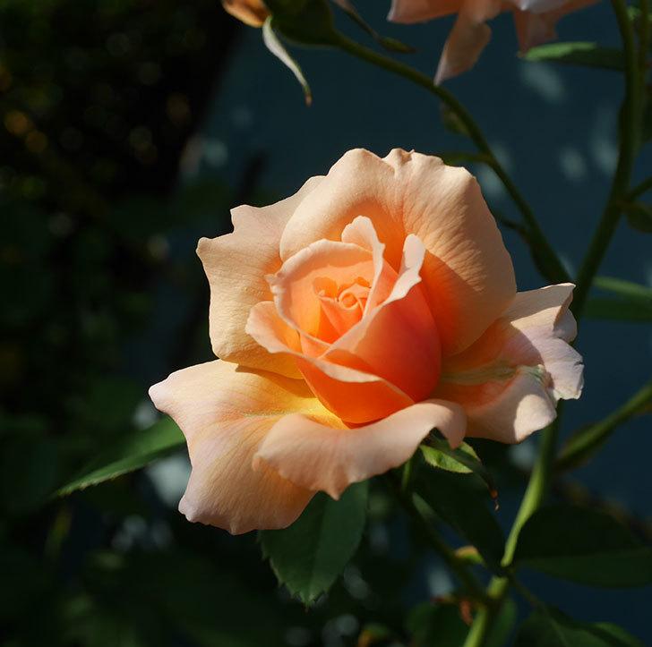 アプリコットキャンディ(木立バラ)の夏花が咲いた。2019年-1.jpg