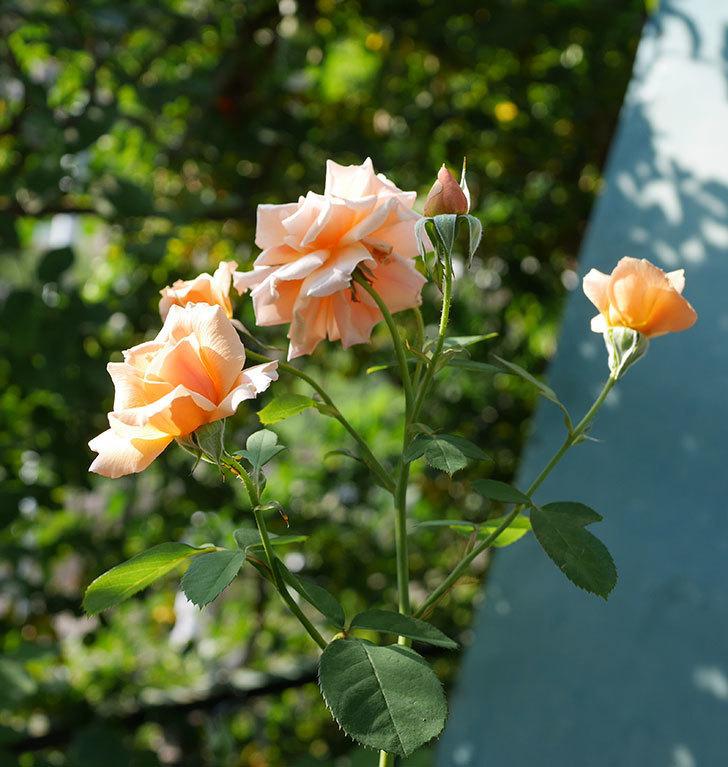 アプリコットキャンディ(木立バラ)の夏花が咲いた。2019年-2.jpg