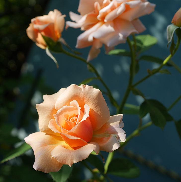 アプリコットキャンディ(木立バラ)の夏花が咲いた。2019年-4.jpg
