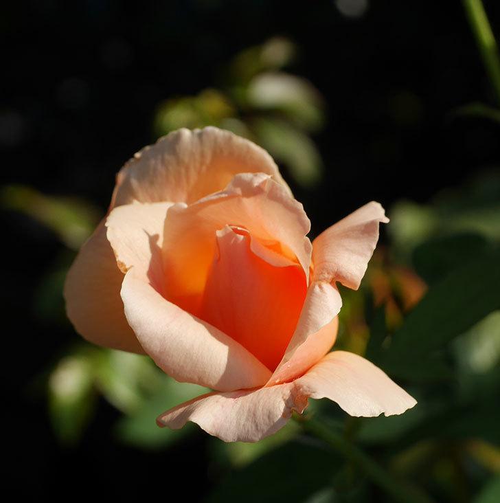 アプリコットキャンディ(木立バラ)の夏花が咲いた。2019年-6.jpg