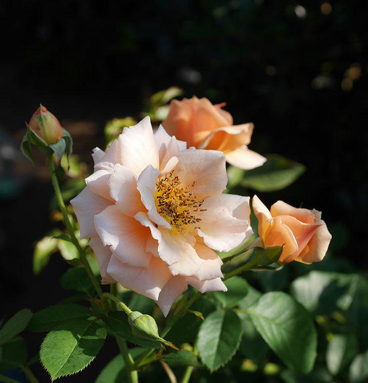 アプリコットキャンディ(木立バラ)の夏花が咲いた。2019年-7.jpg