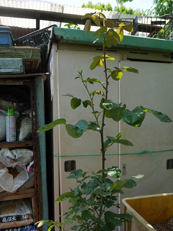 アプリコットキャンディ(木立バラ)の挿し木株に鉢増した。2019年-5.jpg