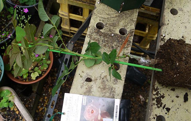 アプリコットキャンディ(木立バラ)の新苗を6号ロングスリット鉢に植えた。2016年-2.jpg