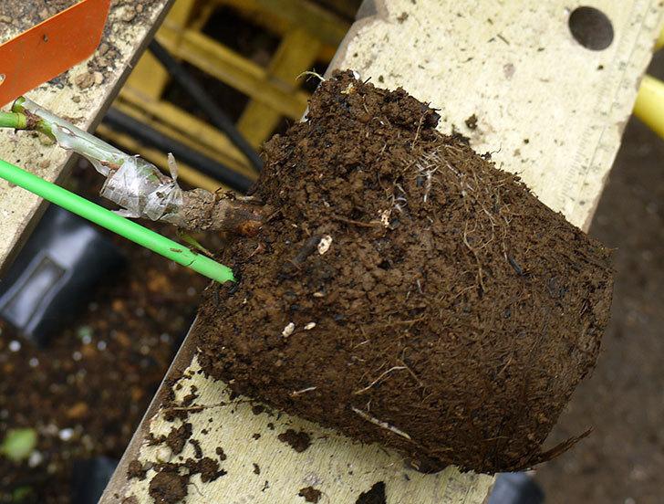 アプリコットキャンディ(木立バラ)の新苗を6号ロングスリット鉢に植えた。2016年-3.jpg