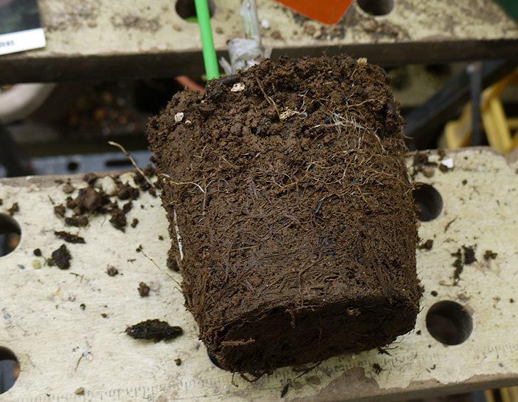 アプリコットキャンディ(木立バラ)の新苗を6号ロングスリット鉢に植えた。2016年-4.jpg