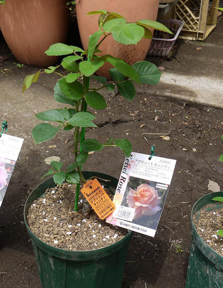 アプリコットキャンディ(木立バラ)の新苗を6号ロングスリット鉢に植えた。2016年-6.jpg