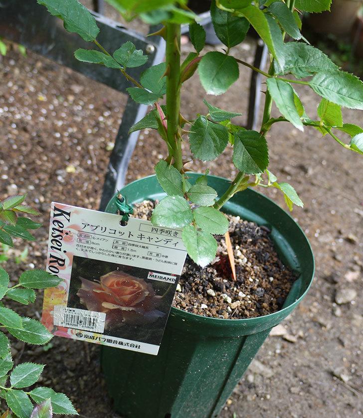 アプリコットキャンディ(木立バラ)の新苗を8号のEUロングスリット鉢に鉢増しした。2016年-2.jpg