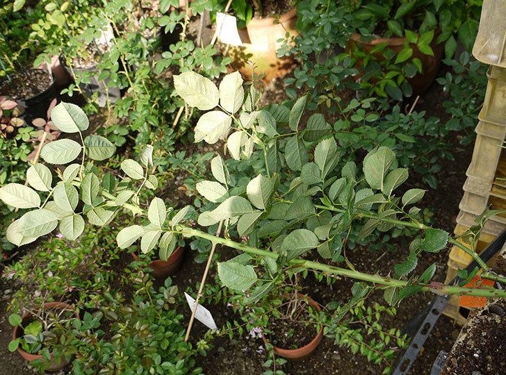 アプリコットキャンディ(木立バラ)の新苗を8号のEUロングスリット鉢に鉢増しした。2016年-4.jpg