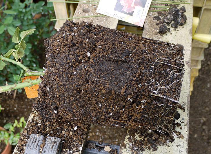 アプリコットキャンディ(木立バラ)の新苗を8号のEUロングスリット鉢に鉢増しした。2016年-5.jpg