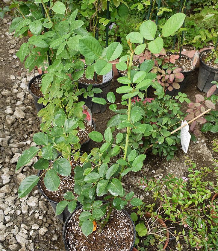 アプリコットキャンディ(木立バラ)の新苗を8号のEUロングスリット鉢に鉢増しした。2016年-8.jpg