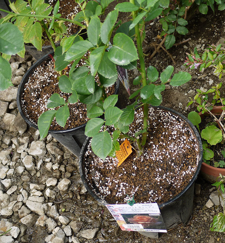 アプリコットキャンディ(木立バラ)の新苗を8号のEUロングスリット鉢に鉢増しした。2016年-9.jpg