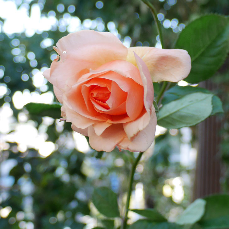 アプリコットキャンディ(木立バラ)の秋花が咲いた。2017年-1.jpg