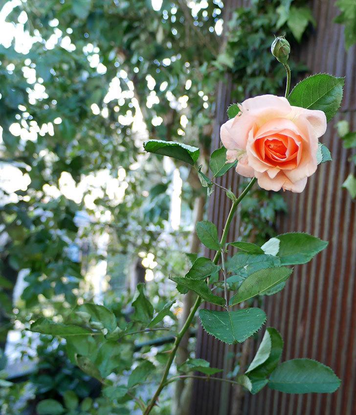 アプリコットキャンディ(木立バラ)の秋花が咲いた。2017年-3.jpg